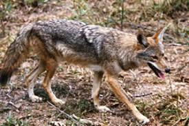 Coyote In My Backyard Coyote Tn Gov