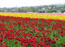 carlsbad flower garden the bell curve of life carlsbad flower fields
