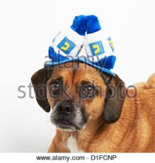 hanukkah hat puggle in hanukkah hat stock photo royalty free image 52585099