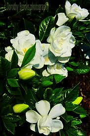how to grow gardenia flowers gardening channel