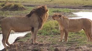 lions for sale petition stop the sale of lion meat change org