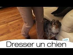 comment cuisiner du chien comment dresser un chien à marcher au pied animaux