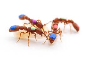 use crispr to manipulate social behavior in ants