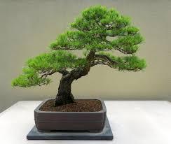 japanese red pine pinus densiflora bonsai tree 10 seeds