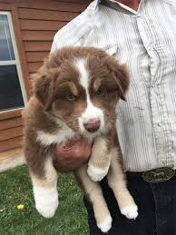australian shepherd with tail for sale keloland classifieds sioux falls sd keloland