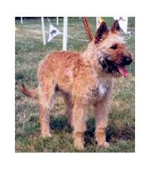 belgian shepherd hair loss laekenois breed information u0026 pictures belgian laekenois chien