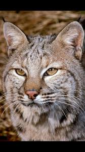 24 best bobcat reference images on pinterest animals bob cat