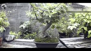 plants native to europe 49 how to care for field maple acer campestre native european