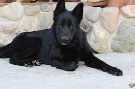belgian sheepdog breeders michigan solid black german shepherd puppies for sale michigan