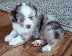 australian shepherd york magical toy aussies