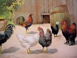 149 best chicken prints images on pinterest roosters chicken