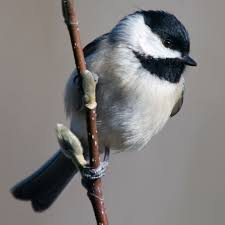 birdist rule 71 figure out what kind of chickadees you u0027ve got
