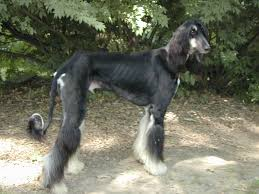 afghan hound afghan hound just another dog website