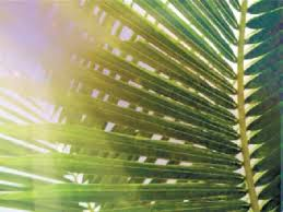 where to buy palms for palm sunday today is palm sunday the guardian newspaper