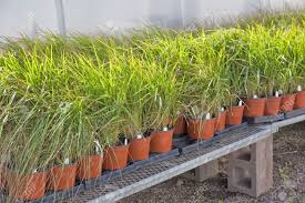 pots of ornamental grass plants as feather grass