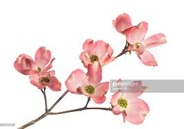 dogwood flowers dogwood blossom stock photos and pictures getty images
