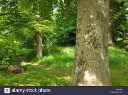 Initials Carved In Tree Open Woodland With Beech Trees Tree With Initials Carved In The