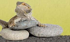 bearded dragon supplies list complete shopping list