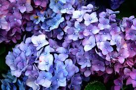 potare le ortensie in vaso ortensie come eliminare i fiori secchi pollicegreen