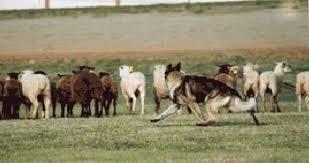 belgian shepherd herding list of herding dogs