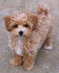 haircutsfordogs poodlemix best 25 maltipoo ideas on pinterest cavoodle dog small dogs