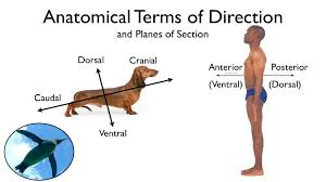 anatomical terms of direction and planes of section youtube