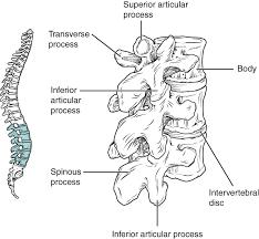 Anatomy Of Vertebral Body The Vertebral Column Anatomy And Physiology