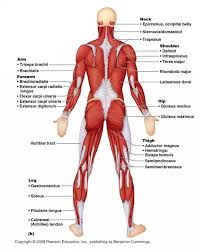 Shoulder And Arm Muscles Anatomy Human Anatomy Diagram Our Exploration Human Anatomy Muscular