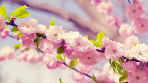 morning blossom wallpapers hd blossom wallpapers download free 753706