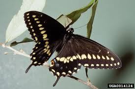 black swallowtail butterfly papilio polyxenes wildlife journal