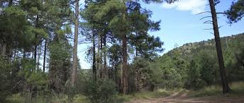 Texas forest images Forest thinning project underway in texas the wildlife society jpg