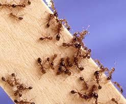 organic fire ant control garden org