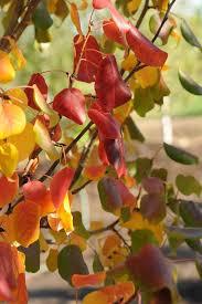prairie gem flowering pear plant sciences