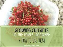 the edible how to grow and use currants tenth acre farm