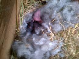 a wild rabbit give birth in my chickens nest box backyard chickens