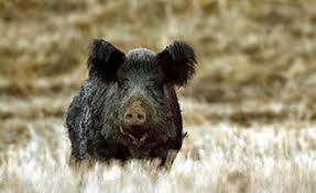 guidelines wild pig depredation