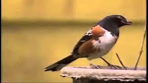 birdsong backyard birds sw coast bc 16x9 youtube