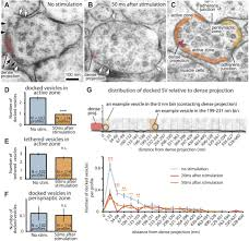 ultrafast endocytosis at caenorhabditis elegans neuromuscular