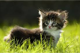 kidney infection in cats symptoms causes diagnosis treatment