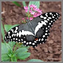 black and white butterfly by mogrianne on deviantart