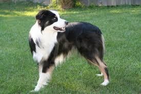 risk n hope australian shepherds sheep dogs breeds home u003e dog breeds u003e australian shepherd dog