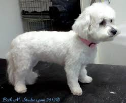 55 best poodles bichon grooming before after images on