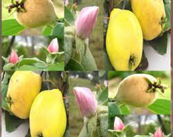 edible fruits quince fruit etsy