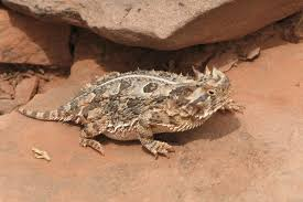 Seeking Lizard Nmsu On Reconnaissance Mission Concerning Reptile Populations At
