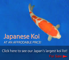 matsuda koi farm the best place to buy and import koi