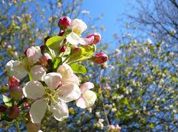 apple tree in blossom international carnivorous plant society
