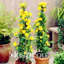 big sale 50pcs home garden rare kerria japonica seeds for
