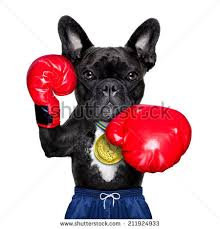 boxer dog in boxing gloves trained dog stock images royalty free images u0026 vectors shutterstock
