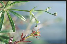 cleavers what you should know agriculture and food