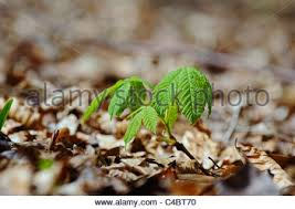 small beech tree saplings coming into leaf from the soil covered